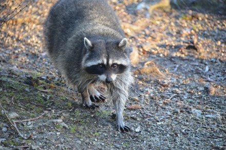 Racoon courtesy Sherwood411 @ Flickr