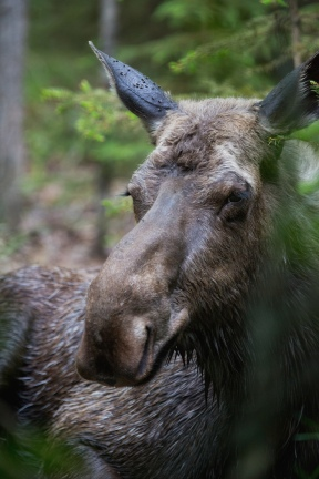 Moose courtesy Douglas Brown at Flickr