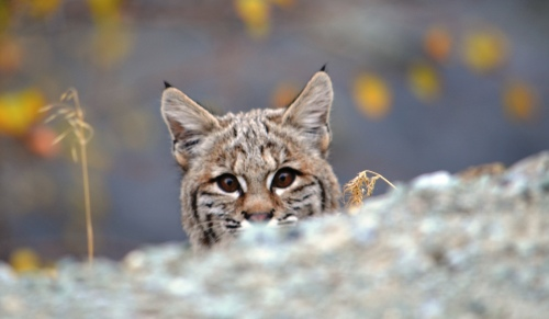 Bobcat courtesy Base Camp Baker at Flickr