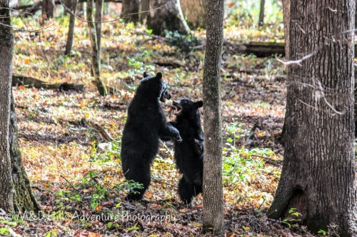 bears-playing-facing-m-and-d-hills